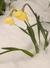 "Snow Daffodils • <a style=""font-size:0.8em;"" href=""https://www.flickr.com/photos/87605699@N00/2353879783/"" target=""_blank"">View on Flickr</a>"
