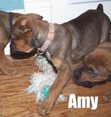 Tug of War Fun (muslovedogs) Tags: mastiff rottweiler mastweiler zeusoffspring myladyoffspring