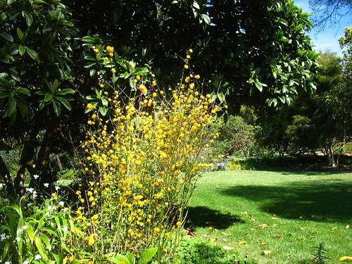 Kerria japonica (Blake Garden)