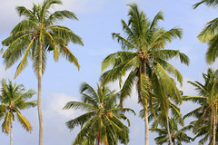 Palmiers MG_1244 (photostudio63 photographe clermont ferrand) Tags: voyage travel tree horizontal ile equateur asie maldives arbre palmier ocanindien herathera experimentationgroup photostudio63 photographeclermont63fr photostudio63fr photographeclermontferrand photographeclermont63com photostudiocom thierrytavares