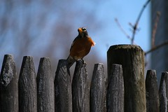 robin (Shutter Man) Tags: nature outdoors spring nikon nikond100 d100 2008 picnik