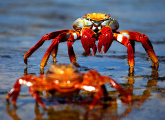 Sally Lightfoot Crabs (Rob Kroenert) Tags: ocean colors america islands ecuador surf wildlife south sally galapagos crabs guantanamera galapagosislands lightfoot sallylightfootcrabs