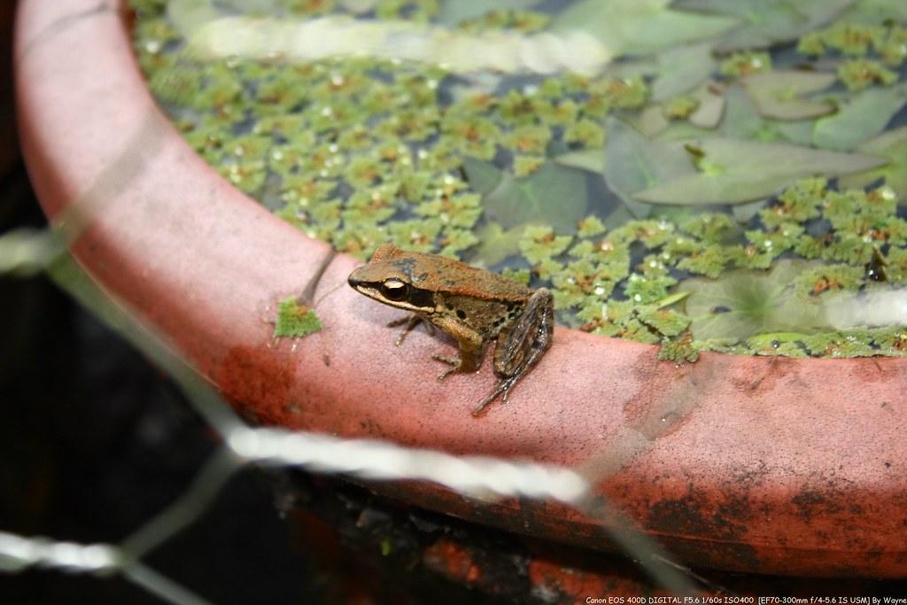 Rana adenopleura 腹斑蛙 IMG_6598