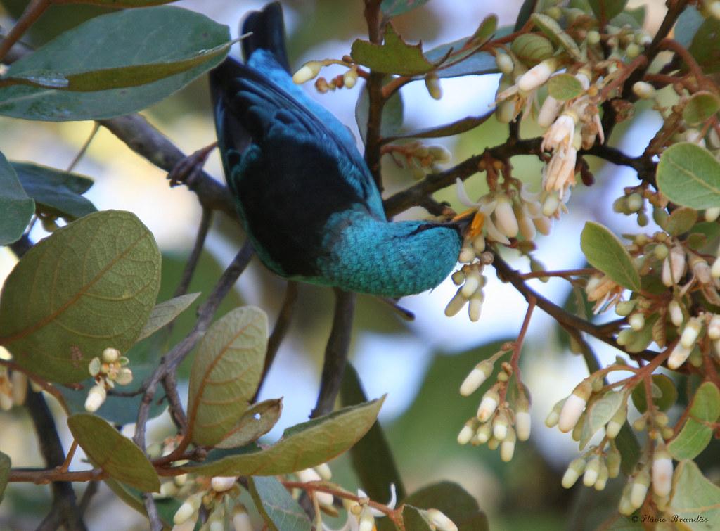 Macho de Saí-azul, Saí, Saí-bico-fino ou Saí-bicudo -  (Dacnis cayana) - A male of a Blue Dacnis or Turquoise Honeycreeper 18-05-2008 161