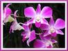 Dendrobium 'Sonia'