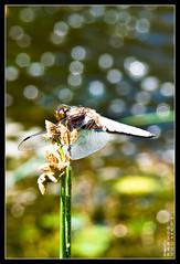 Dragonfly (Querulant) Tags: germany dragonfly libelle nordrheinwestfalen tier neuss frhling frhling animalsspring