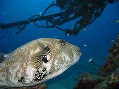 Star Pufferfish