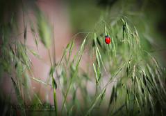 Another Ladybug (SarahCutright {Blueghost Studio}) Tags: nature canon insect colorado denver ladybug 50mmf18 cs3 myfrontyard 40d