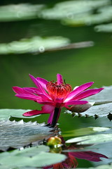 Water lily (Explored) (ddsnet) Tags: plant flower water succulent gallery waterlily lily sony hsinchu taiwan been have aquatic   700 aquaticplants         sinpu hsinpu  explored flickrsbest tetragona water diamondclassphotographer flickrdiamond  700  lily   nymphaeatetragona waterlily    plants flowerinjapan nymphaeatetragon photos  aquatic nymphaea tetragona photoshavebeeninexplore photoshavebeeningallery explore plantsnymphaea