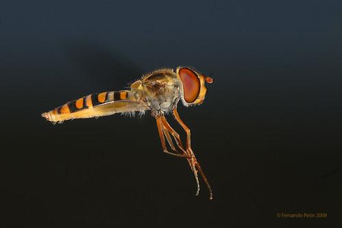 Cernidora en vuelo