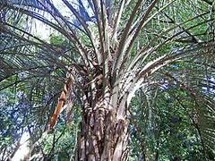 yatay palm (Butia yatay) palmera YATAY ~ Original = (3072 x 2304) (turdusprosopis) Tags: palmeras jardnbotnico butia arecaceae jardnbotnicocarlosthays yatay floraargentina rvoresbrasileiras botanicsgardens rvoresnativas butiayatay palmerayatay plantasargentinas plantasdeargentina rbolesargentinos argentinasspalms palmsofuruguay palmerasdeluruguay arecaceaeinargentina rbolesdelaargentina rbolesdeargentina rbolesautctonosdelaargentina rbolesnativosargentinos rbolesnativosdelaargentina naturalezaargentna naturalezadeargentina naturalezadelaargentina naturalezadeluruguay plantasautctonasargentinas plantasautctonasdelaargentina floraautctonaargentina floraautctonadeargentina plantasnativasargentinas plantasnativasdeargentina plantasnativasdelaargentina rbolescorrentinos rbolesdecorrientes palmerasargentinas palmsofargentina florauruguaya rbolesautctonosargentinos rbolesautctonosdeargentina floradelaargentina floradeargentina floranativauruguaya floranativadeuruguay floranativadeluruguay palmerasdeargentina palmerasdelaargentina plantasautctonasdeargentina floraautctonadelaargentina rbolesnativosdeargentina rvoresnativasdobrasil rvoresdoriograndedosul rvoresgachas rvoresdobrasil rvoresnativasbrasileiras floranativabrasileira floranativadobrasil floradobrasil rvoresnativasdoriograndedosul palmerasparaguayas palmsofparaguay palmerasdelparaguay palmerasdeparaguay jardnbotnicodepalermo rbolesnativosdelparaguay palmsofbrazil brazilspalms rbolesnativosdeluruguay rbolesnativosdeuruguay rbolesnativosuruguayos jardinesbotnicos