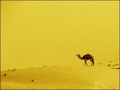 Kamel