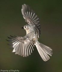 (#210) A Flying Mouse (tinyfishy (Gone to Cuba)) Tags: bird flying inflight titmouse tufted diamondclassphotographer flickrdiamond picturefantastic goldstaraward