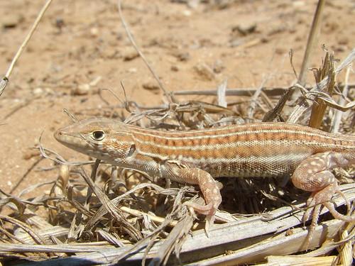 acanthodactylus_schreiberi