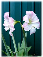 Gigli (Birnardo) Tags: italia fiori lazio nettuno gigli digitalcameraclub flowerpicturesnolimits mimamorflowers salveanatureza awesomeblossoms birnardo bomboetosky
