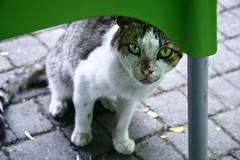 y e  i l (B@ni) Tags: green eye cat canon efs1785mmf456isusm kedi yeil gz srme