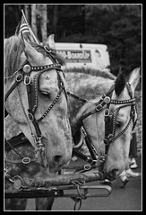 _MG_6702 (k.a. gilbert) Tags: horses bw blancoynegro parade float 4thofjuly independenceday blanc negre blancinegre blackwhitephotos july4thparade2008
