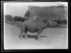 Sudan(?) Monkey riding a rhino (George Eastman House) Tags: africa glass animals monkey funny ride riding exotic hut age rhino damage afrika colobus rhinocerous affe georgeeastmanhouse nashorn glassplate rhinocerotidae dicerorhinus rinocerous photo:process=negativegelatinonglass babyrhinocerous flickrsbestcreatures color:rgb_avg=7b7b7b chchusseauflaviens infantcolobusmonkey immaturecolobusmonkey commons:event=commonground2009 geh:accession=197501121191