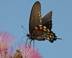 Spicebush Swallowtail (Papilio troilus) on Mimosa Tree (Albizia julibrissin) (tonyadcockphotos) Tags: flowers lake butterfly insect pond blooms swallowtail swallowtailbutterfly spicebushswallowtail albiziajulibrissin mimosatree papiliotroilus lakeheron danvilleva danshill goldstaraward