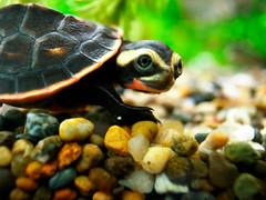 [フリー画像] [動物写真] [は虫類] [亀/カメ] [ニシキマゲクビガメ]       [フリー素材]