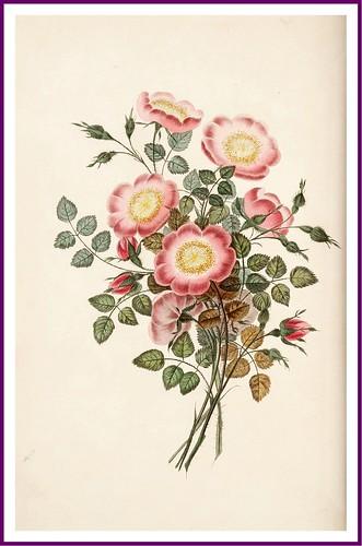 012-La rosa perro