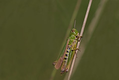 Grasshopper (-Siep-) Tags: insect grasshopper orthoptera sprinkhaan sigma105mm specinsect canon40d buzznbugz ahqmacro