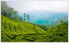 Munnar - Top Station (kcbimal) Tags: trees station tea top kerala panoramic plantation tamilnadu munnar highest bimal
