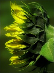 Flickering... (Mary Trebilco) Tags: flowers flower macro green yellow garden petals flora bokeh foliage explore sunflower canonpowershot yellowgreen canonpowershots3is badcocksgarden hggt gorgeousgreenthursday