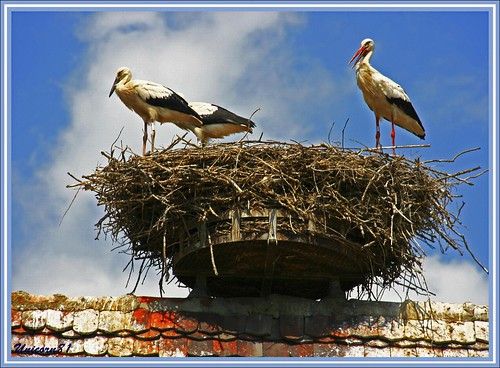 Storks in the nest / Störche im Nest