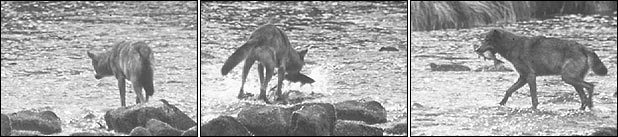 a series of photos in which a wolf approaches the shore, catches a salmon, and carries it into the forest in its mouth
