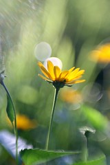 She is breathing (F l e u r) Tags: light sun flower berlin green nature yellow lensbaby germany bokeh sunny bubbles shining tiergarten 365bokeh