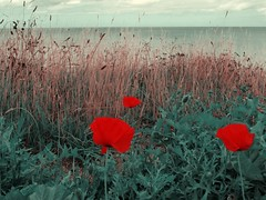 Poppies on the coast (chris37111) Tags: sea view coat norfolk olympus poppies runton 1030sw
