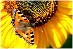 Small Tortoiseshell on Sunflower (Tony Margiocchi (Snapperz)) Tags: plant flower sunshine yellow insect nikon bright vibrant sunflower d3 smalltortoiseshell nymphalisurticae 105mmmicronikkor 105mmf28gvrmicro worldbest colorphotoaward margiocchi butterflycolour nikond3