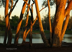 Nature... (Mine Beyaz) Tags: california park trees light sunset tree explore placentia brea agac gunbatimi blueribbonwinner agaclar mywinners abigfave betterthangood goldstaraward minebeyaz