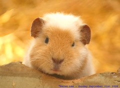 Tales of the Riverbank... (law_keven) Tags: fab england animal guineapig kent furry critter furryfriday winghamwildlifepark talesoftheriverbank