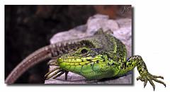Lagarto (jordasin) Tags: lizard lagarto outofbounds jordasin ltytr2 ltytr1 ltytr3
