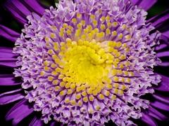 Hypnotize me. (zio paperino) Tags: flower macro nature fleur colors yellow closeup geotagged blossom violet natura panasonic giallo fiore viola fz50 naturesfinest mywinners ziopaperino mygearandme mygearandmepremium mygearandmesilver mygearandmegold