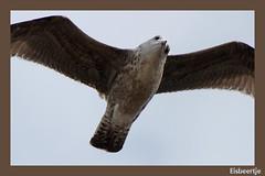 Zeemeeuw (Eisbeertje) Tags: bird birds animal animals nikon vogels waterbird dieren dier meeuw meeuwen vogel waterbirds zeemeeuw zeemeeuwen watervogels watervogel