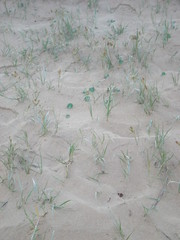 Plant 6 (cobalt.penguin) Tags: beach dunes sydney peninsula avalon barranjoey