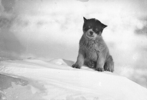 Blizzard, the pup in Antarctica / photograph by Frank Hurley