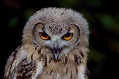 [フリー画像] [動物写真] [鳥類] [猛禽類] [梟/フクロウ] [ベンガルワシミミズク] [雛/ヒナ]     [フリー素材]