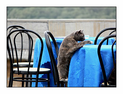 A mouse... please!!! (Piero Calzona) Tags: topo bar cat mouse humor sedie gatto ristorante caff animali tavoli umoristiche animalidacompagnia