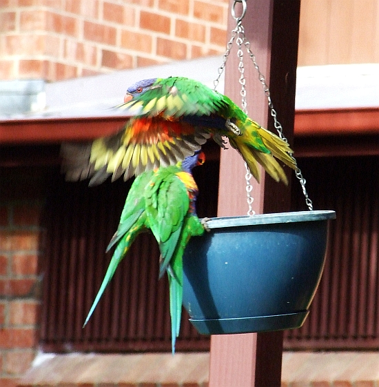 rainbow lorikeets in action 07
