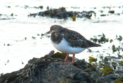 Turnstone 04Nov08