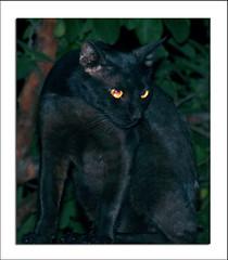 black beauty (TARIQ HAMEED SULEMANI) Tags: pakistan cats pets nature blackcat tariq mywinners concordians sulemani