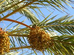 Cotorrita del collar 883 (jacilluch) Tags: barcelona wood tree animal arbol palm ave pajaro palmae palmera datepalm exotica cotorra 883 myiopsittamonachus datiles cotorritagris lacotorraargentina cotorritadecollar