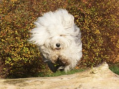 Here I come! (Linzse) Tags: old autumn dog brown english fall leaves puppy fur happy leaf jump jumping funny sheepdog fluffy molly oes oldenglishsheepdog