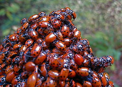 Love Bugs (jurvetson) Tags: mountain love topf25 lady forest bugs marks demonstration pile biking ladybird ladybugs piggyback lovein soquel nisene coccinelles hippodamiaconvergens woodstockforladybugs taxonomy:binomial=hippodamiaconvergens