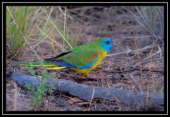 Turquoise Parrot, Weddin Mtns NP, 16.12.08a (Callocephalon Photography) Tags: red male green bird beautiful yellow turquoise parrot australia nsw elusive highlight grenfell neophemapulchella specanimal centralnsw turquoiseparrot sigma50500mmf463 avianexcellence vosplusbellesphotos weddinmountainsnp nrcowra