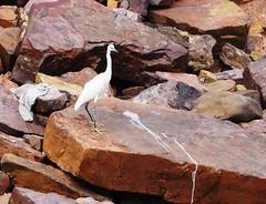 The lonely Egret (asis k. chatt) Tags: india bird nature birdwatcher whitebird naturephotography omkareswar naturalharmony ~elegance~ naturewatcher